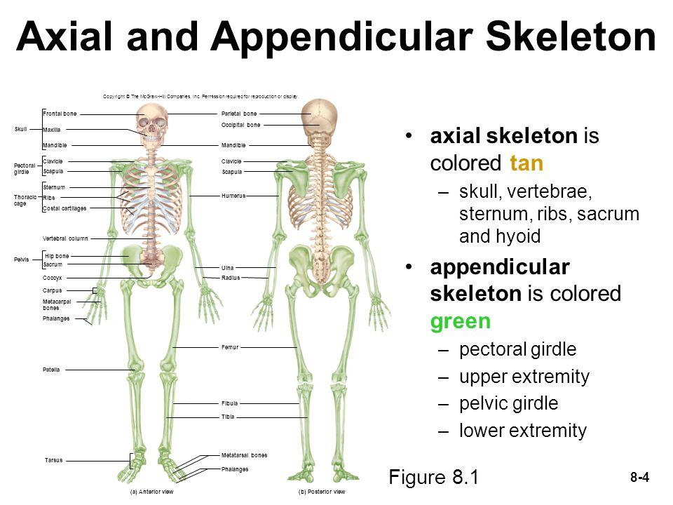 appendicular skeleton worksheet photos leafsea. Black Bedroom Furniture Sets. Home Design Ideas