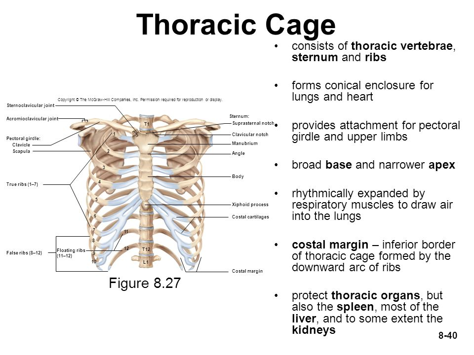 Thoracic Cage consists of thoracic vertebrae, sternum and ribs. forms conical enclosure for lungs and heart.