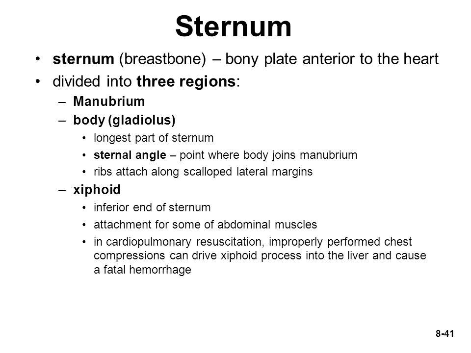 Sternum sternum (breastbone) – bony plate anterior to the heart