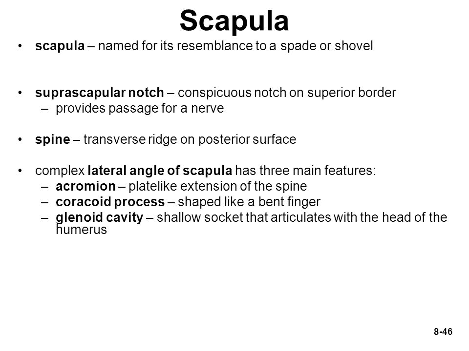 Scapula scapula – named for its resemblance to a spade or shovel