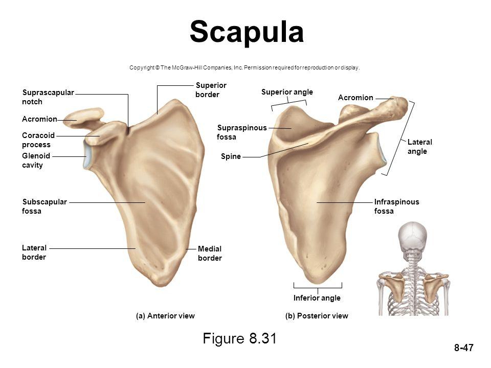 Scapula Figure 8.31 Superior border Suprascapular notch Superior angle