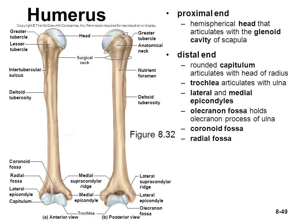Humerus Figure 8.32 proximal end distal end