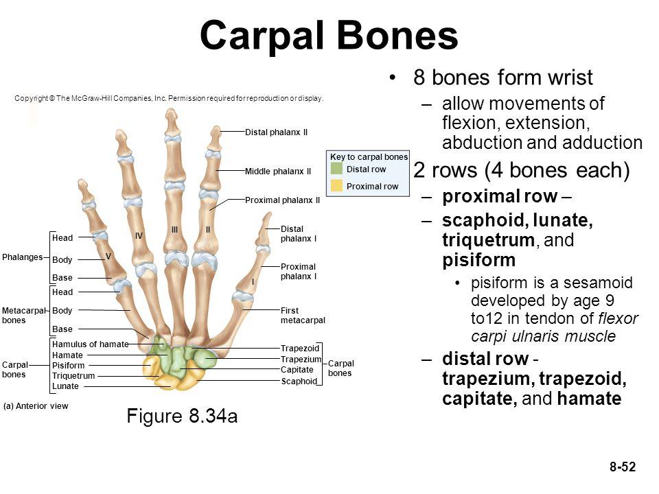 Carpal Bones 8 bones form wrist 2 rows (4 bones each) Figure 8.34a