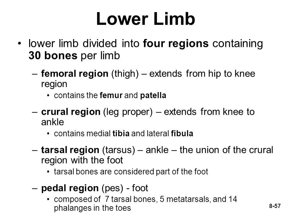 Lower Limb lower limb divided into four regions containing 30 bones per limb. femoral region (thigh) – extends from hip to knee region.
