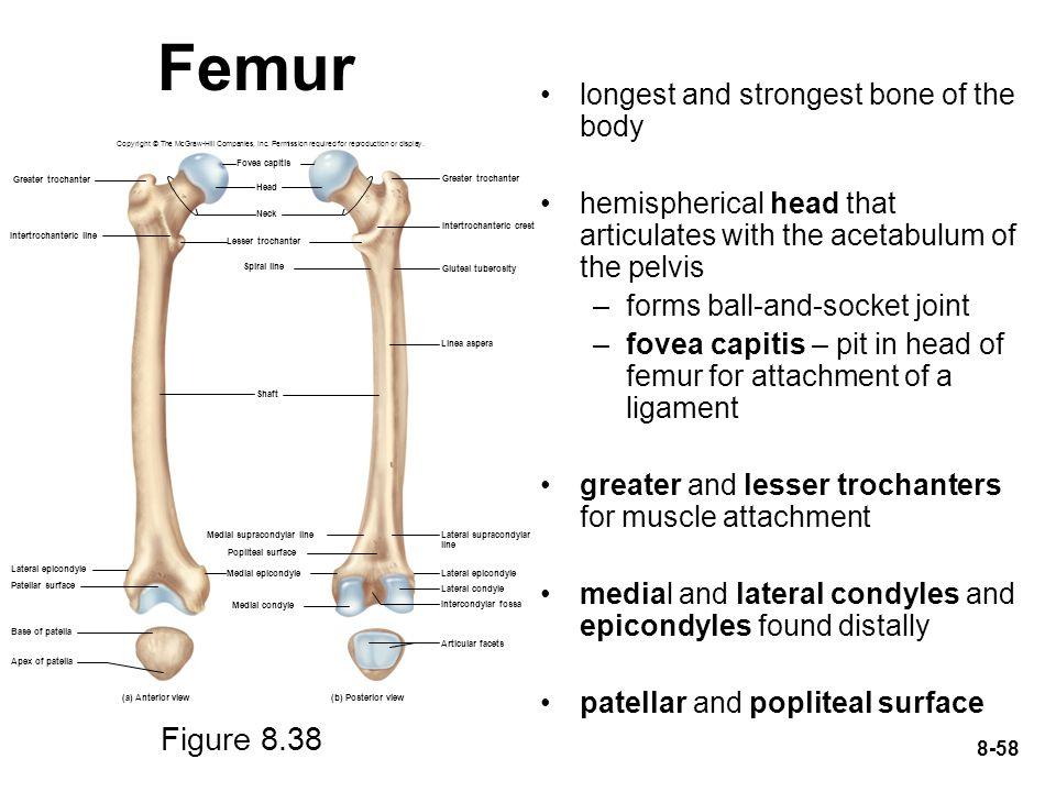 Femur Figure 8.38 longest and strongest bone of the body