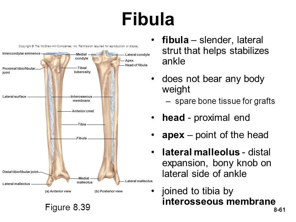 Fibula fibula – slender, lateral strut that helps stabilizes ankle