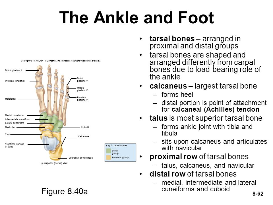The Ankle and Foot Figure 8.40a