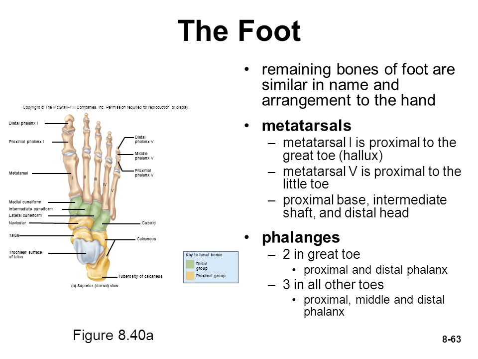 The Foot remaining bones of foot are similar in name and arrangement to the hand. metatarsals. metatarsal I is proximal to the great toe (hallux)