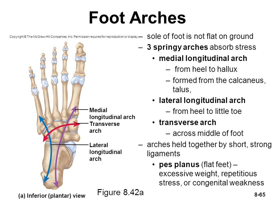 Foot Arches Figure 8.42a sole of foot is not flat on ground