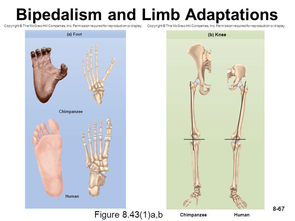 Bipedalism and Limb Adaptations