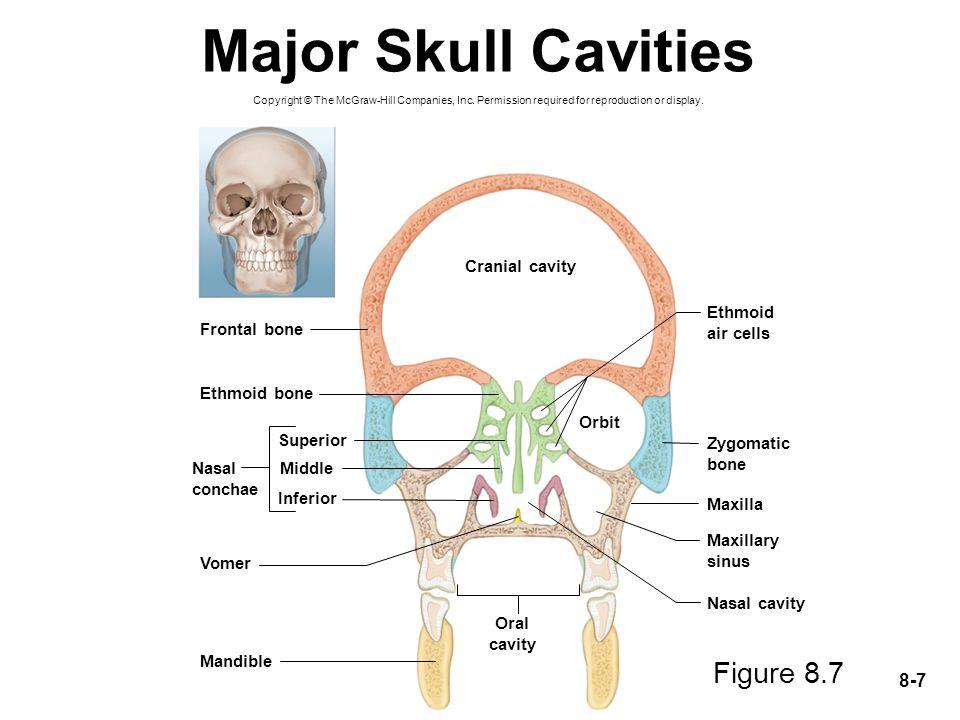 Major Skull Cavities Figure 8.7 Cranial cavity Ethmoid air cells