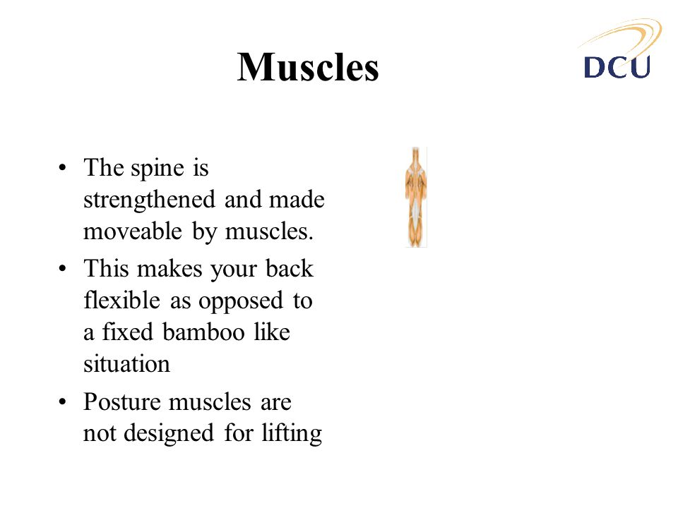 Muscles The spine is strengthened and made moveable by muscles.