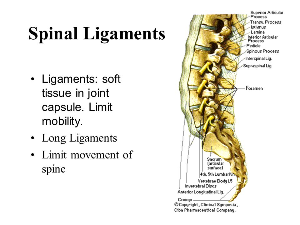 Spinal Ligaments Ligaments: soft tissue in joint capsule. Limit mobility. Long Ligaments. Limit movement of spine.