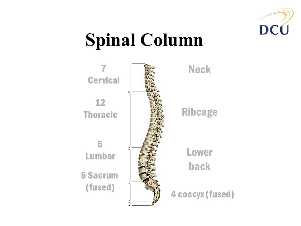 Spinal Column Neck Ribcage Lower back 7 Cervical 12 Thoracic 5 Lumbar
