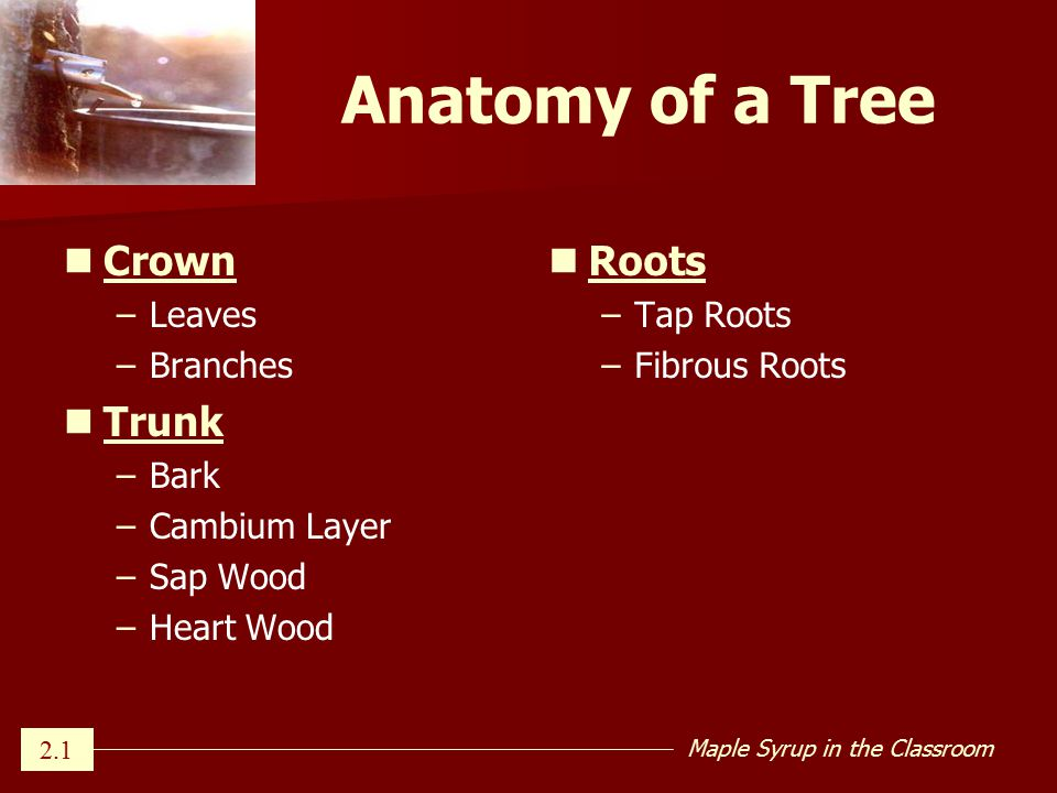 Which Trees Are Best For Maple Ppt Download