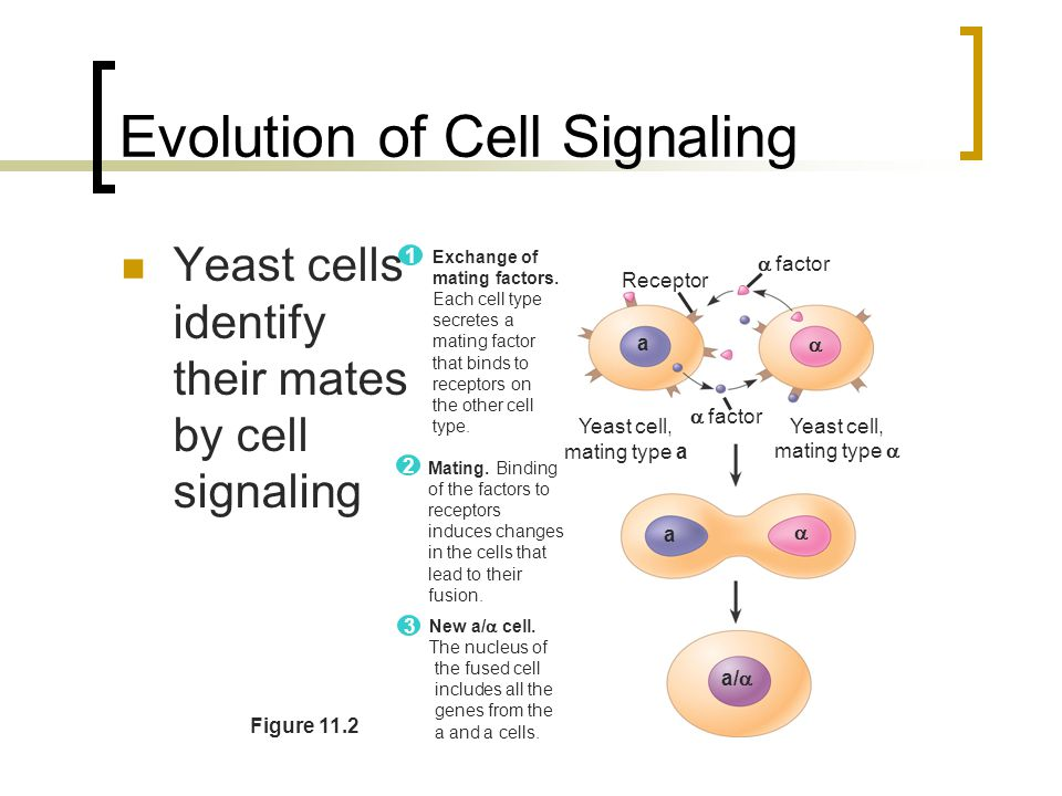 Chapter 11 cell communication ppt download evolution of cell signaling ccuart Choice Image