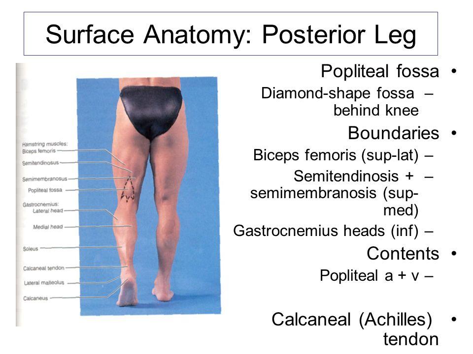 Charmant Laterale Seitenband Anatomie Bilder - Anatomie und ...