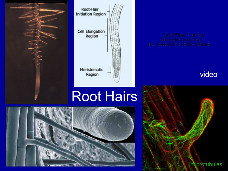 Root Hairs video microtubules