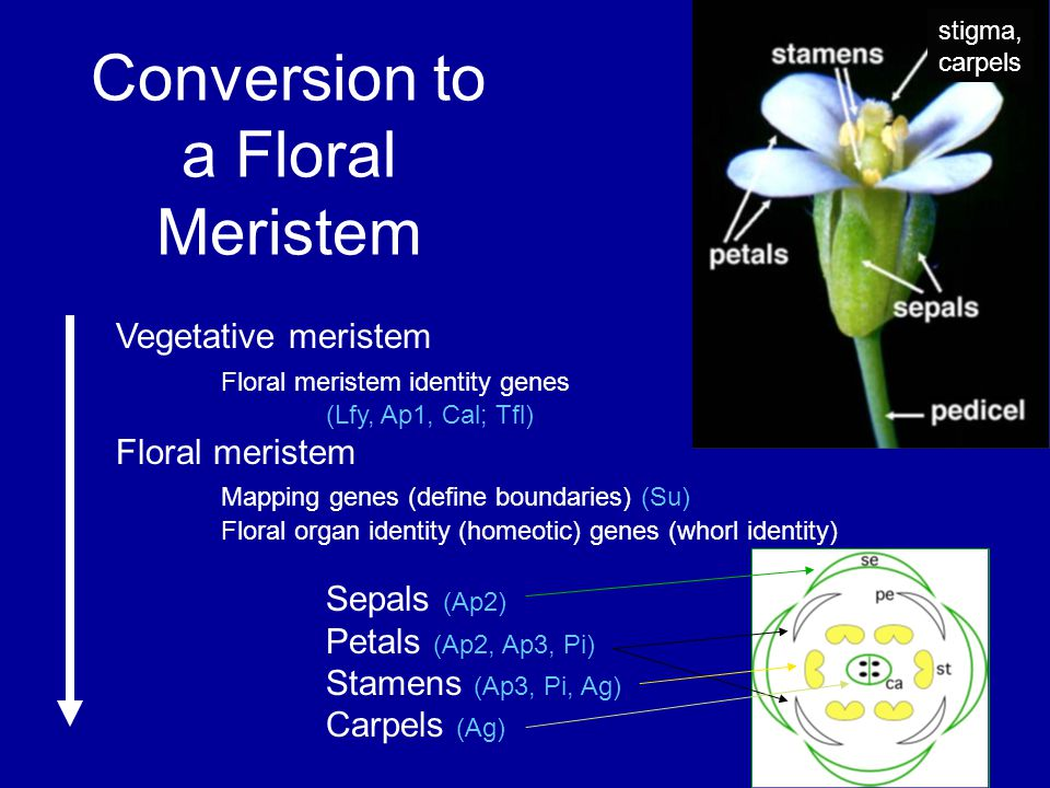 Conversion to a Floral Meristem