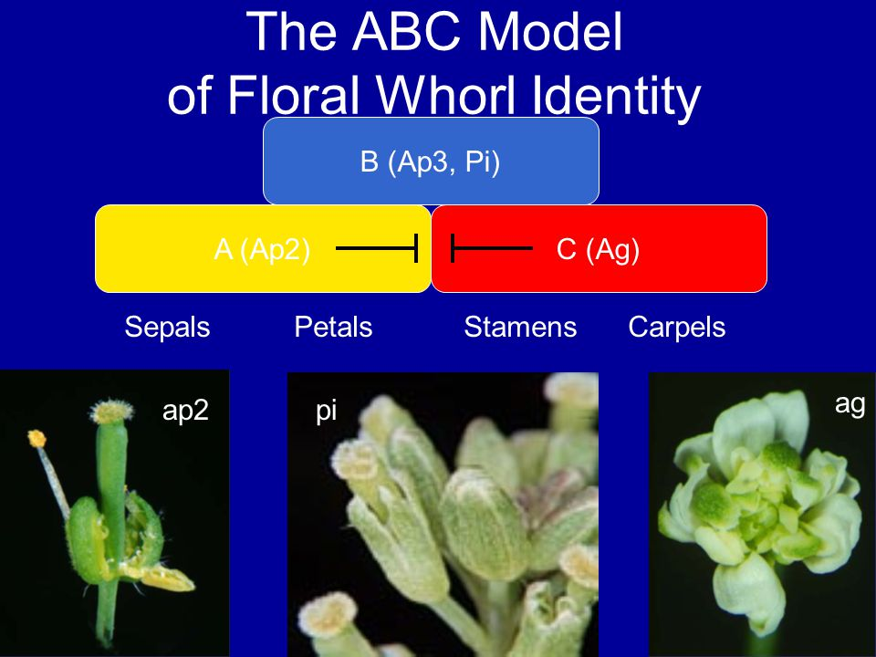 The ABC Model of Floral Whorl Identity