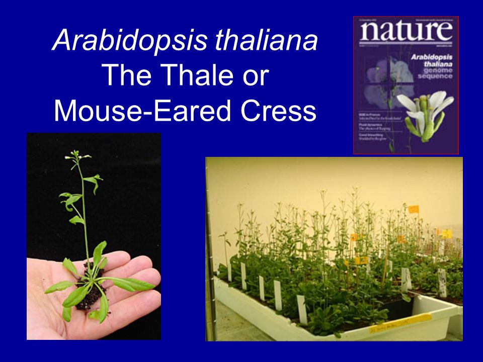 Arabidopsis thaliana The Thale or Mouse-Eared Cress