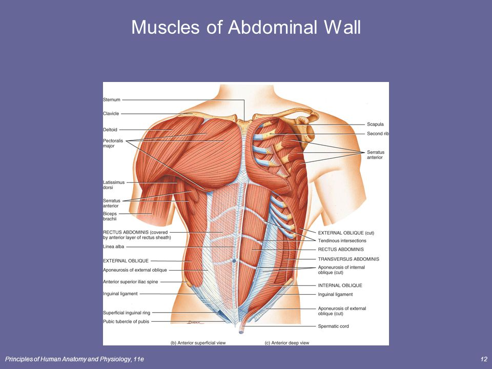Abdominal wall muscles anatomy