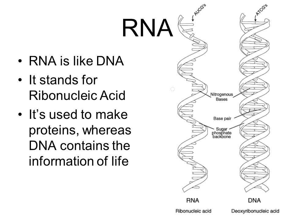 RNA RNA is like DNA It stands for Ribonucleic Acid