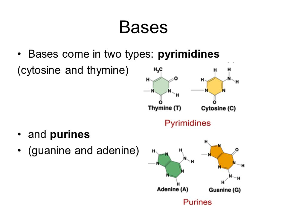Bases Bases come in two types: pyrimidines (cytosine and thymine)