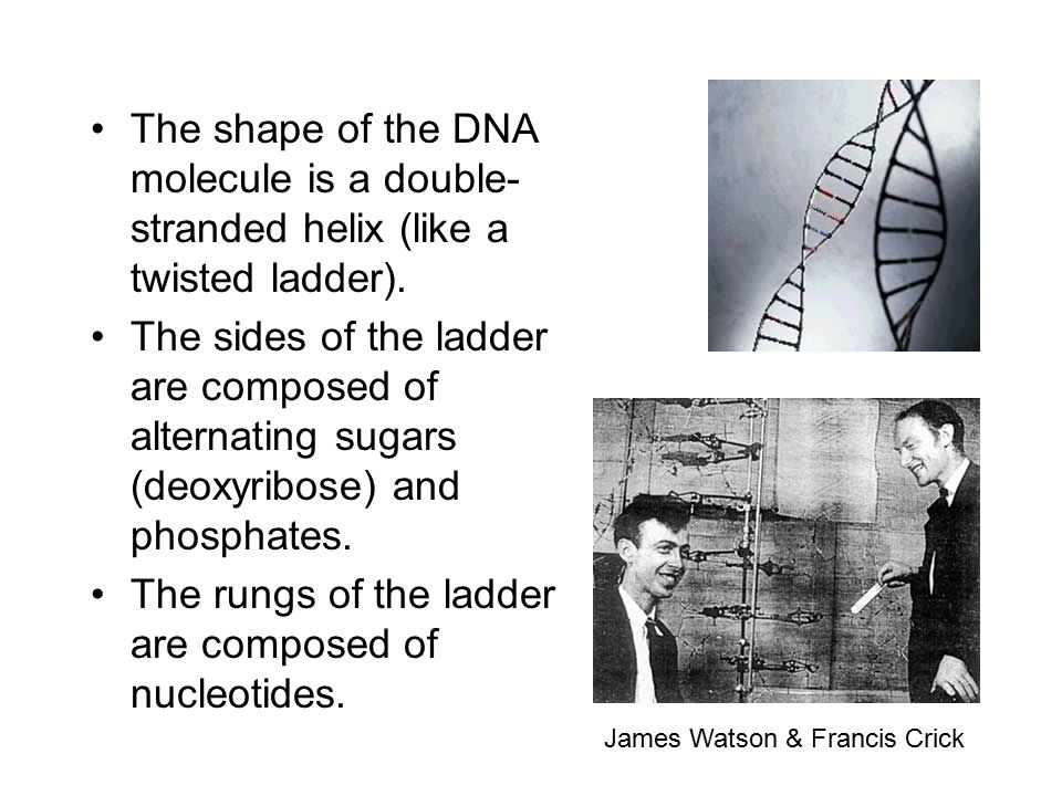 The rungs of the ladder are composed of nucleotides.