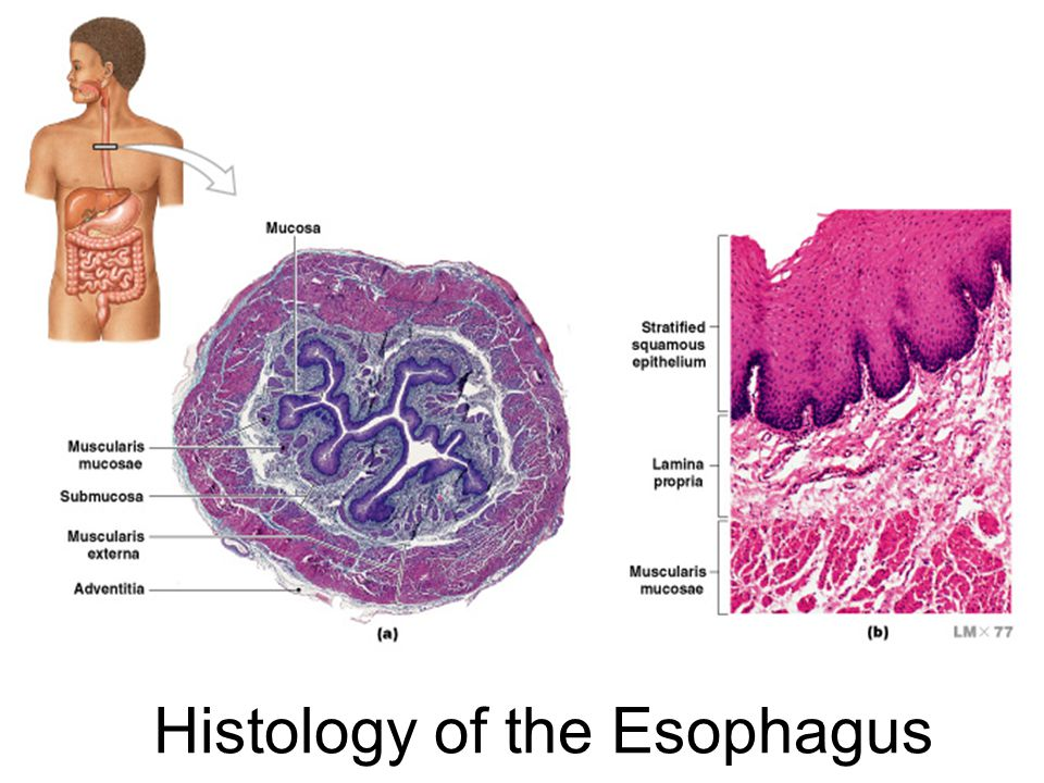 Histology of the Esophagus