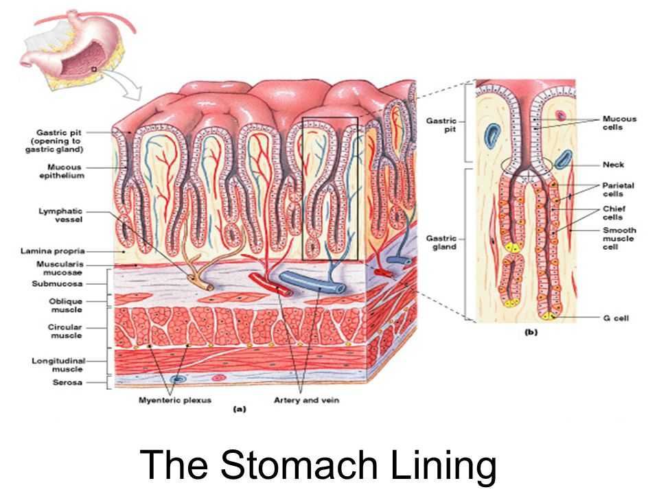 The Stomach Lining Figure 24–13