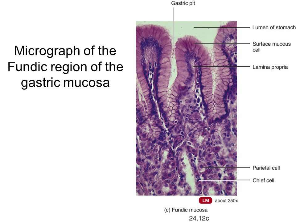 Micrograph of the Fundic region of the gastric mucosa
