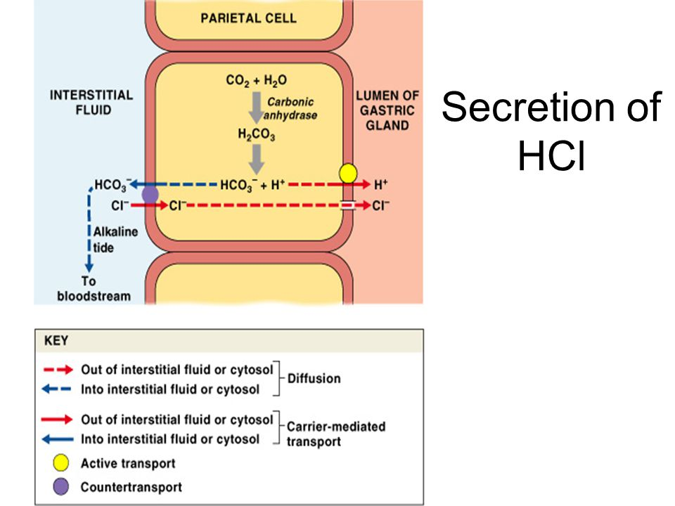 Secretion of HCl