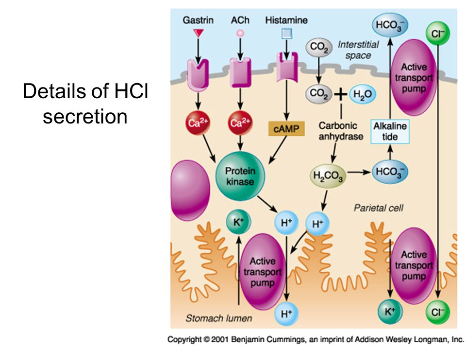 Details of HCl secretion