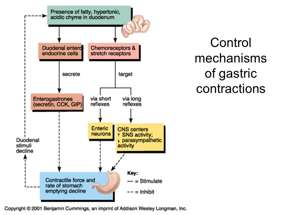 Control mechanisms of gastric contractions