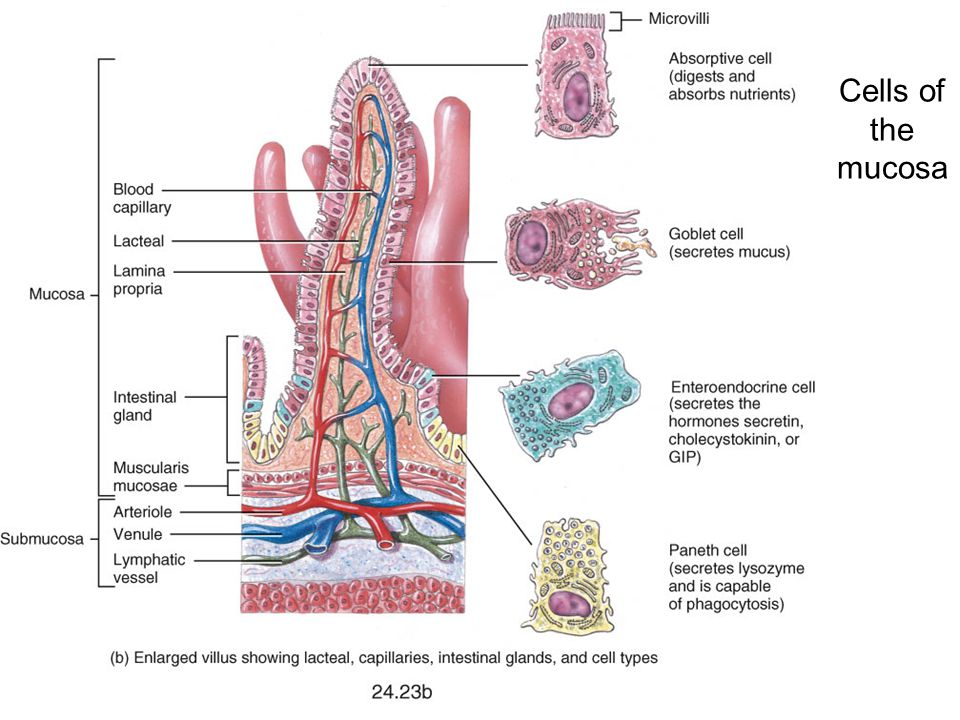 Cells of the mucosa