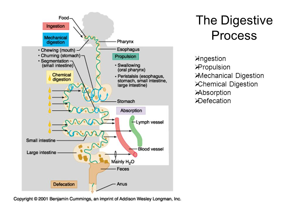 The Digestive Process Ingestion Propulsion Mechanical Digestion