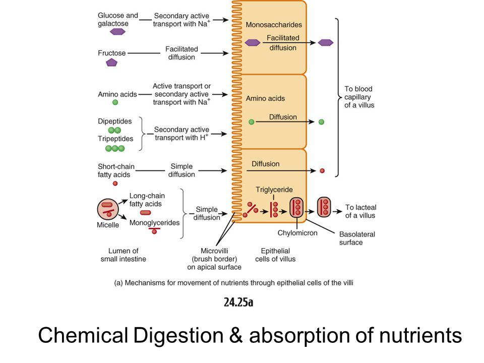 Chemical Digestion & absorption of nutrients