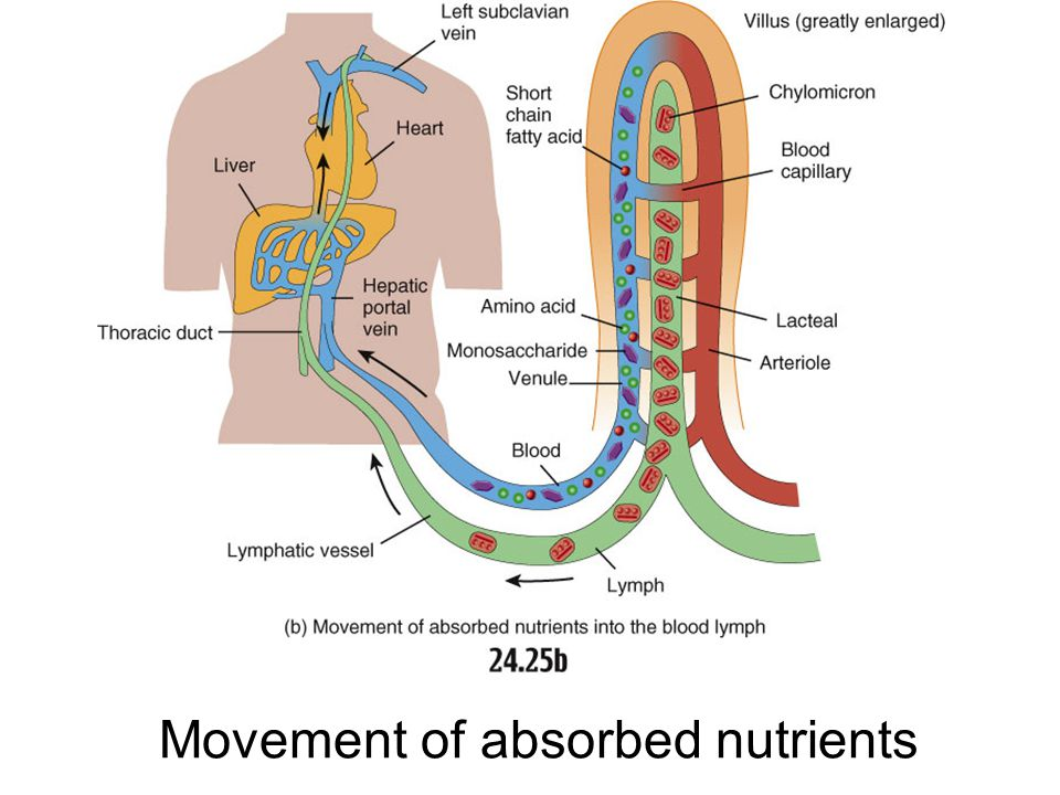 Movement of absorbed nutrients