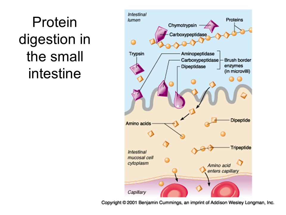 Protein digestion in the small intestine