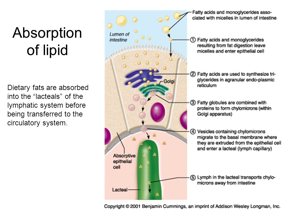 Absorption of lipid Dietary fats are absorbed into the lacteals of the lymphatic system before being transferred to the circulatory system.