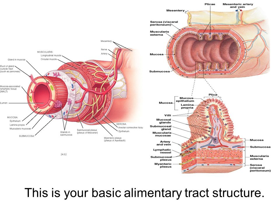 This is your basic alimentary tract structure.