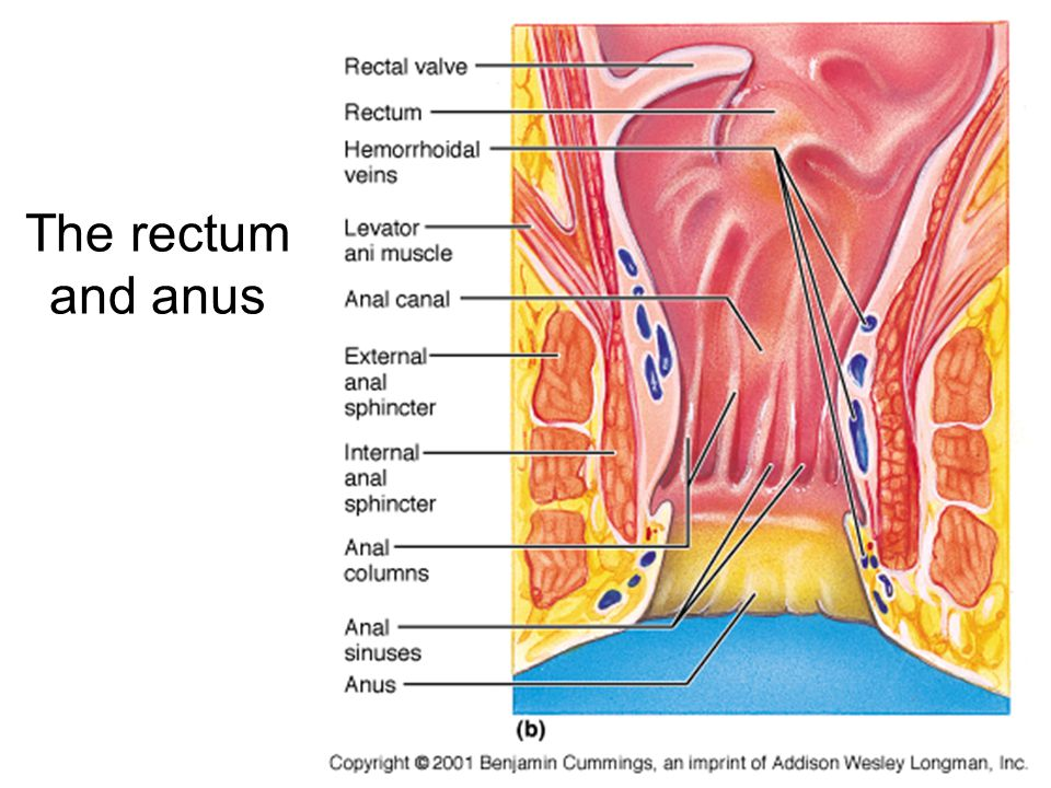 The rectum and anus