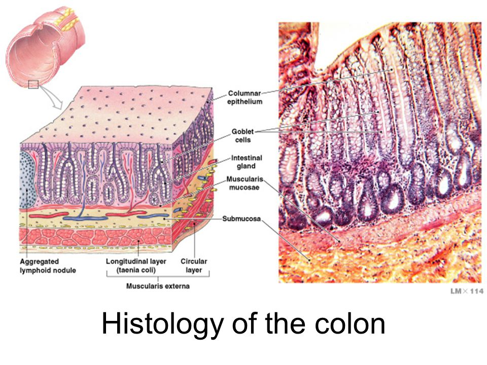 Histology of the colon