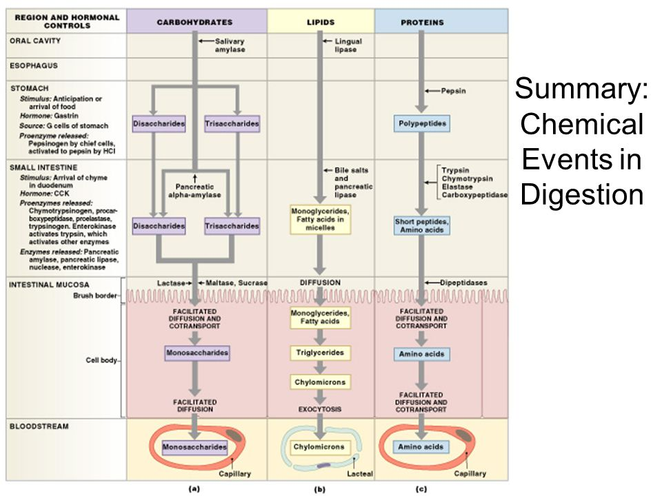 Summary: Chemical Events in Digestion