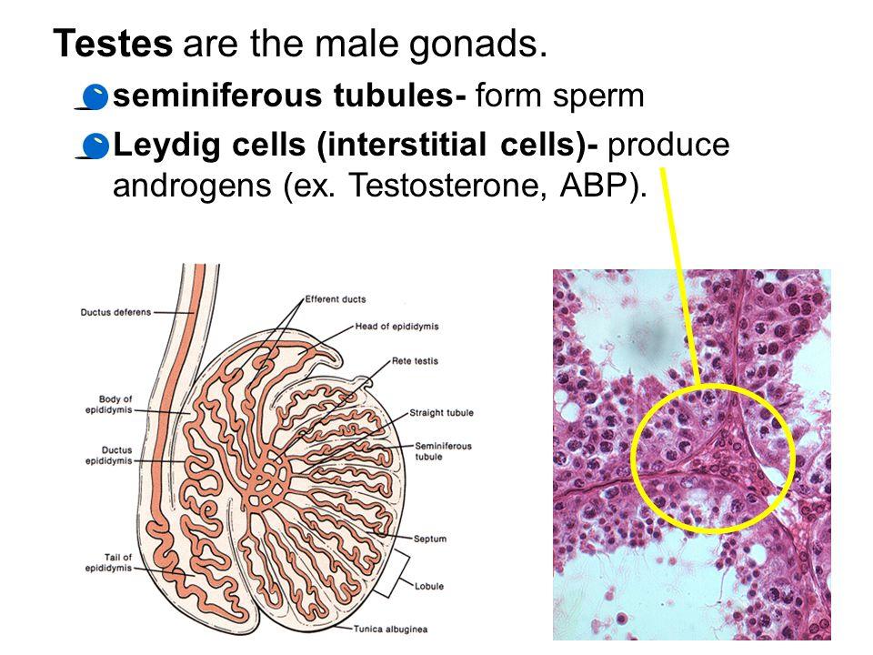 Gonads gland