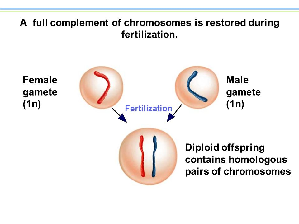 meiosis and male sexual characteristics Sex differences in humans have been studied distinctions of physiological characteristics associated with either male or of meiosis and fertilization (with.