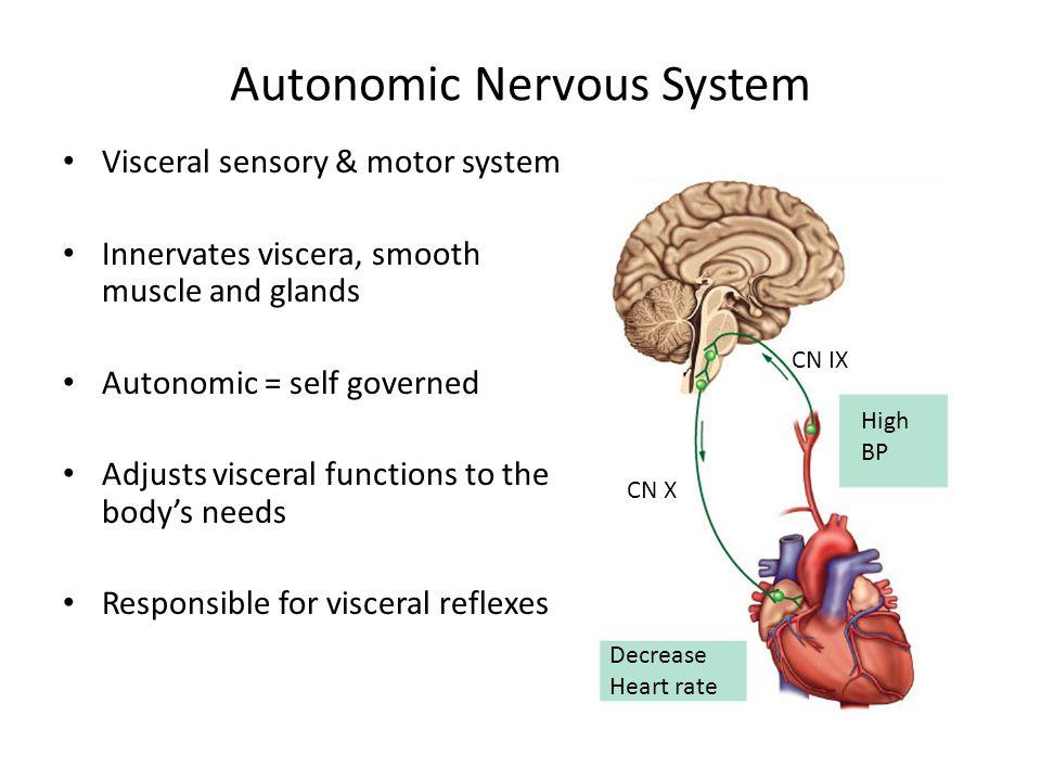images for autonomic nervous system