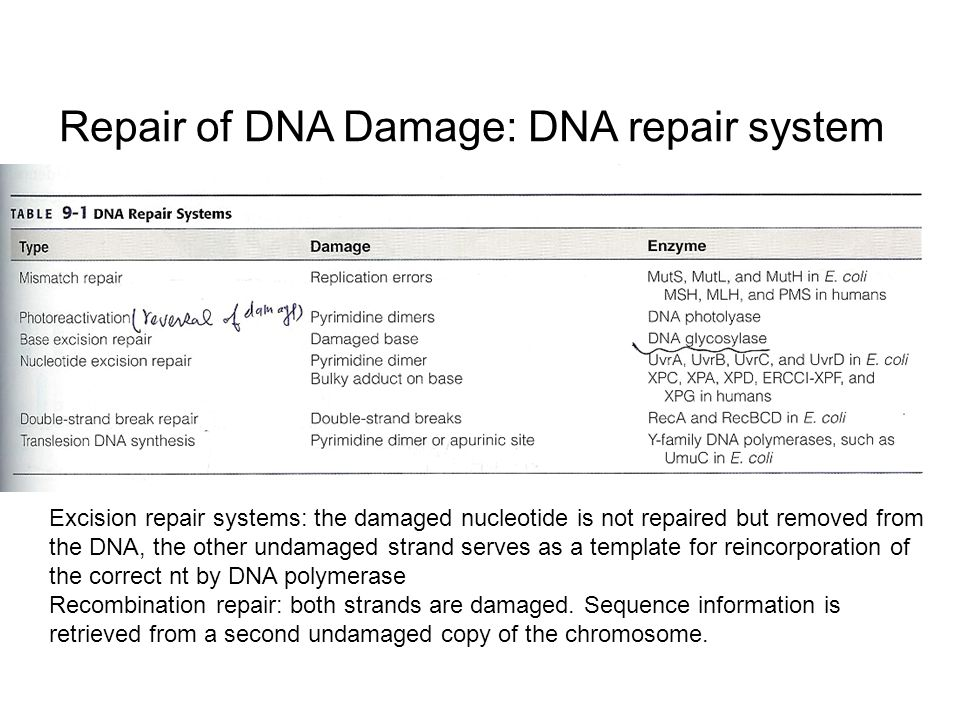 The mutability and repair of dna ppt video online download for Explain how dna serves as its own template during replication