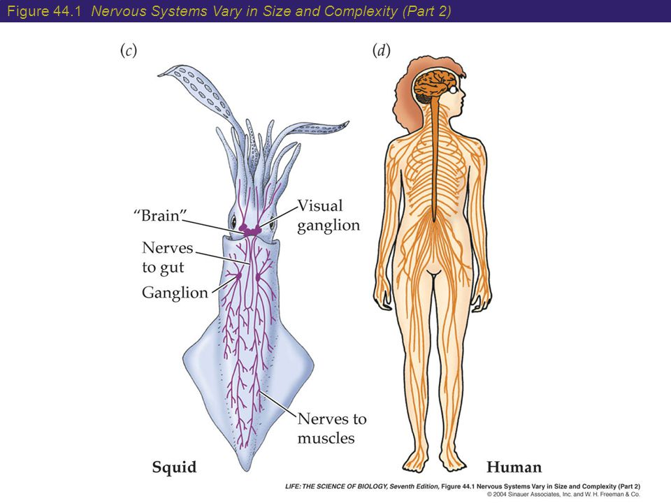 The Mammalian Nervous System Structure And Higher Functions Ppt